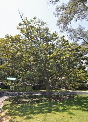 Magnolias And Their Care In The Greater Austin Area
